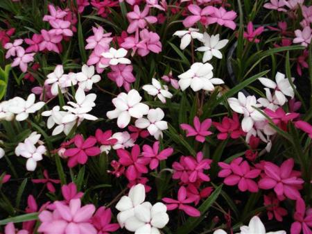Rhodohypoxis - one of the showiest late spring bulbs here