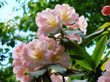 Rhododendron Ivan D Wood