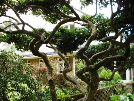 A large cloud pruned specimen of Camellia sasanqua Mine No Yuki