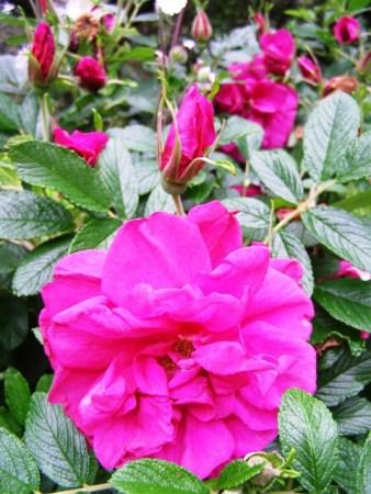 Rosa Roseraie de 'Hay