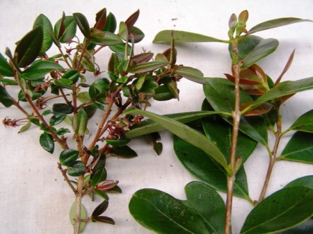 Two entirely different plants, both commonly called the Chilean guava
