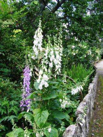 Inspired by Hidcote - the white foxgloves