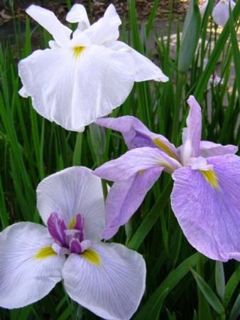 Coming up next week: the Higo irises
