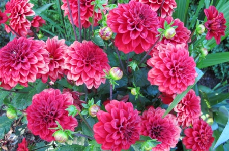 Red dahlias for Christmas (but not for Plant Collector profiling)