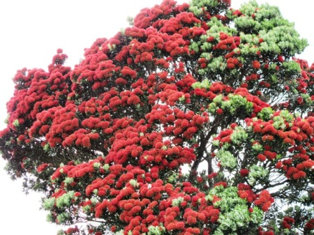 The pohutukawa - often called the NZ Christmas tree
