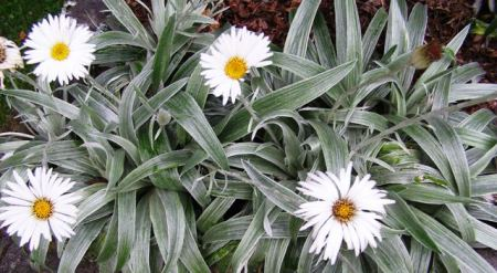 Celmisia - New Zealand's mountain daisy
