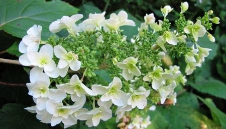 "The dainty Hydrangea quercifolia ""Snowflake"""