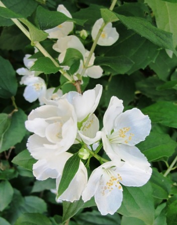 The exquisite simplicity of the fragrant philadelphus