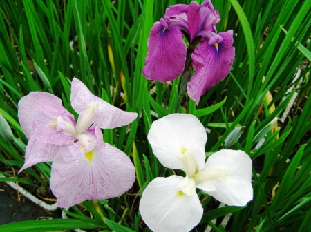 Remarkable seedling variation in the Higo Iris