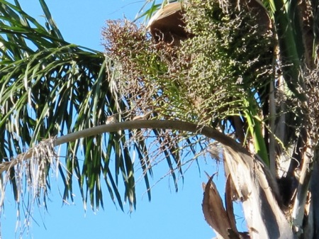 Sparrows in the Queen Palm condo
