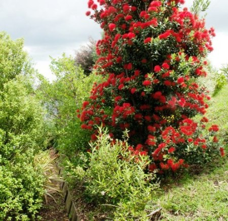 Pohutakawa, maybe Scarlet Pimpernel, in Hamilton on Christmas Day (photo: Michael Jeans)