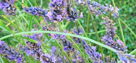 The romance of lavender - though it can be shortlived in our climate