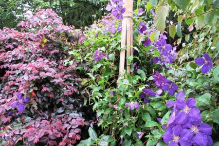 Clematis with Loropetalum China Pink
