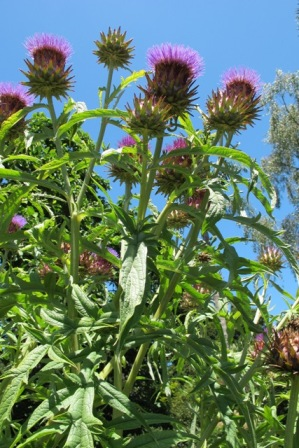 Cardoon - the next trendy crop for basil sophisticates?