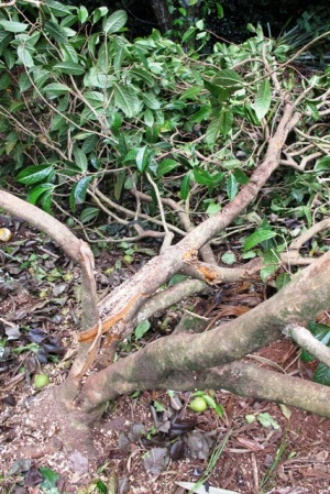 The sad state of Camellia chyrsantha