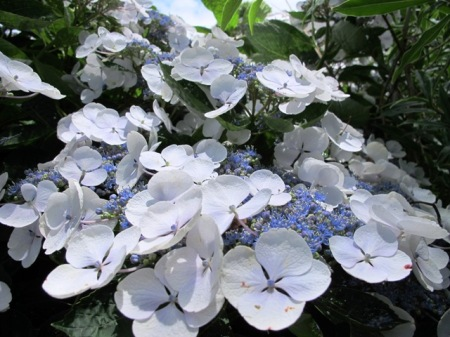 Hydrangea Libelle
