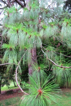 Pinus montezumae - just one of the more special pines