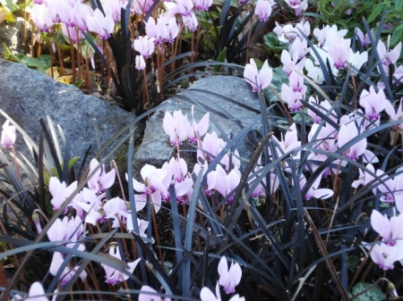 Too much of a good thing - Cyclamen hederafolium with black mondo grass