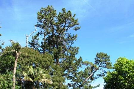 Our old man pines, Pinus radiata, are large trees after 130 years