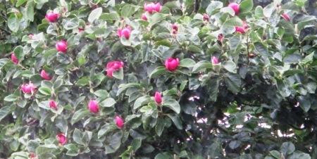 The bonus of summer flowers on Magnolia Black Tulip