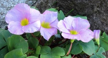 The lovely autumn oxalis - O.eckloniana