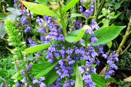A perennial lobelia from North America - but which one?