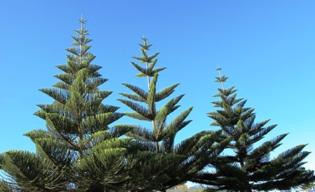 The urge is to put a Christmas star on top - Araucaria heterophylla