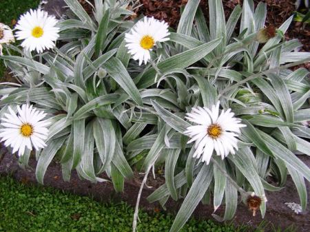 Celmisia (New Zealand's mountain daisy) are not within their normal climatic range here