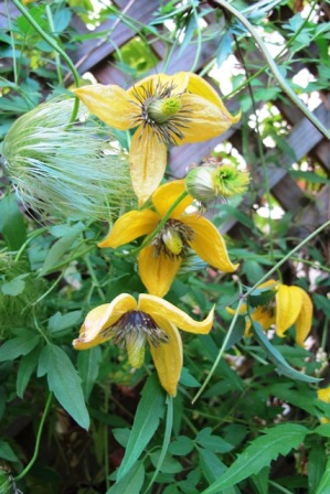 The early autumn charm of Clematis tangutica