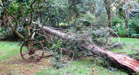 Felling of the Picea omorika by strong wind
