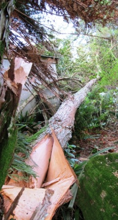 A totara, torn apart by strong winds