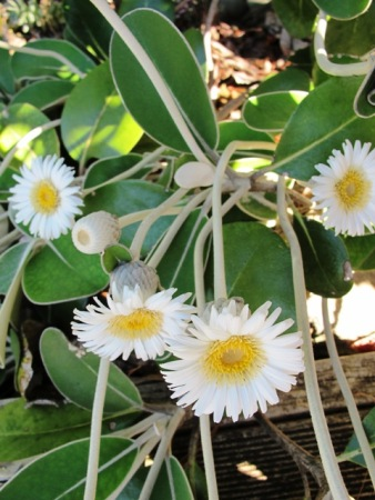Pachystegia insignis (the Marlborough rock daisy) is also used to somewhat different conditions