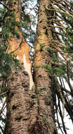 Damage to the multi forked Picea omorika several metres up