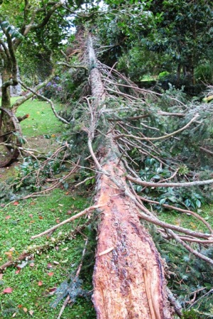 The Picea omorika felled itself