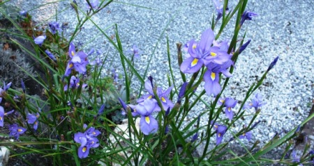 The lovely autumn peacock iris, Moraea polystachya, blooms for an exceptionally long time