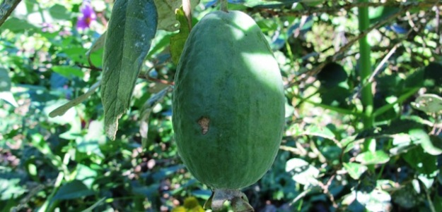 The ubiquitous feijoa