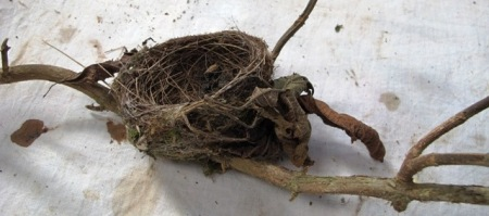 The perfection of the fantail nest