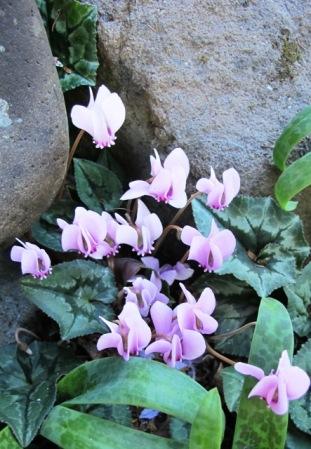 The Cyclamen hederafolium are a delight
