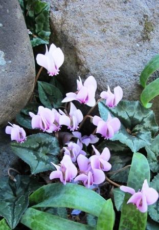 The Cyclamen hederafolium are a delight