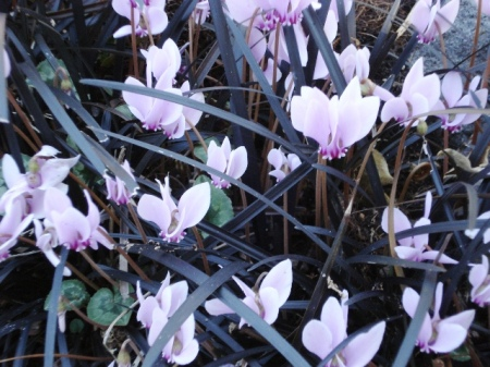 Cyclamen hederafolium - the easiest of the species in our climate