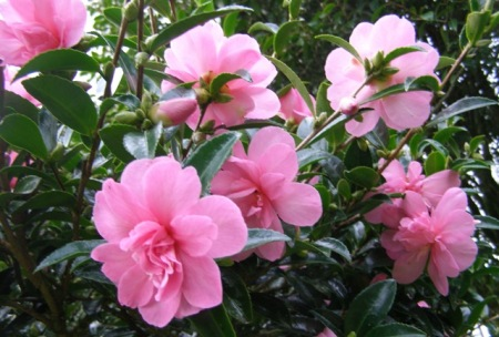 Sasanqua camellias do not have to be white - pink Elfin Rose