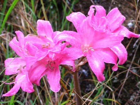 Amaryllis belladonna - the other naked ladies and closely related to sternbergia