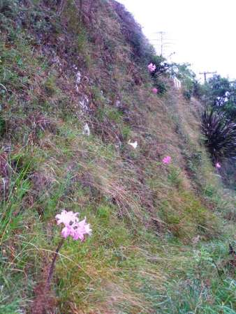 Amaryllis belladonna (or naked ladies) are usually seen as a roadside flower