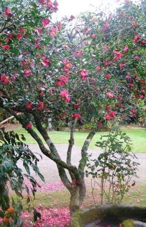 Crimson King forms a graceful, open shrub when mature