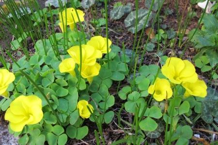 O. luteola - an excellent garden variety