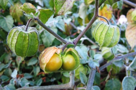 Physalis peruviana - commonly known as cape gooseberries