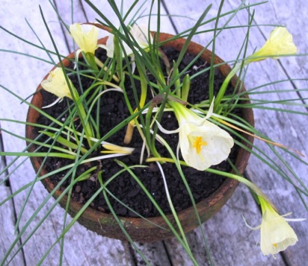 "Narcissus bulbocodium citrinus ""Pandora"" - the first in flower this season"