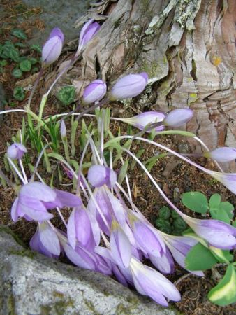 Autumn crocus - real ones