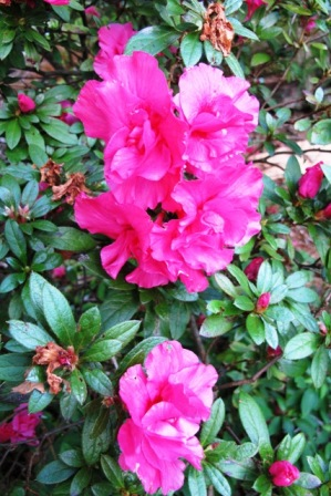 Autumn cheer in the earliest azalea flowers