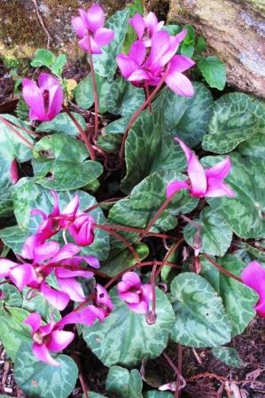 Cyclamen purpurascens seems to be in flower pretty well all year